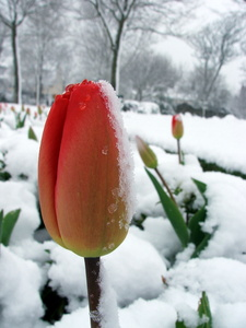 Tulip in Snow