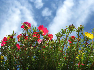 portulaca and sky: none