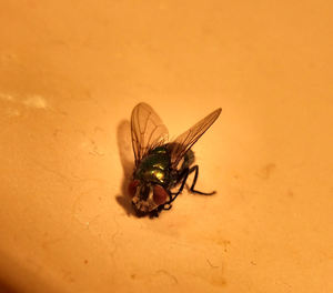 hairy fly: close-up of fly with wet feet