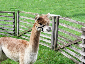 Alpaca for Alpaca view farm cuisine