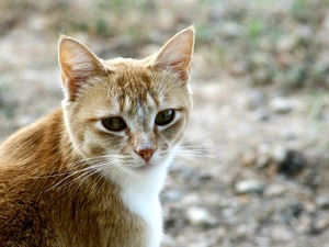 Kiddy Kat: Close up of ginger cat head