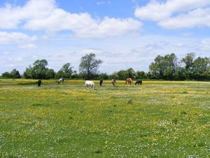 Meadow with Horses, Northampto: On a walk in Northamptonshire, England in early summer