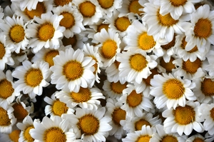 white daisy texture