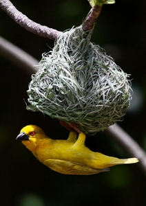 Yellow Weavers 5
