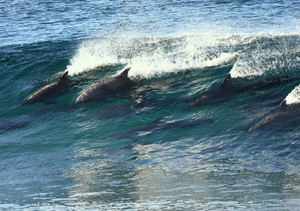 Dolphins, champion Surfers 5