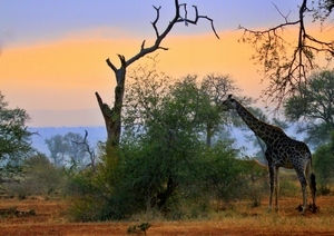 Out of Africa: Africa morning - Giraffe grazing