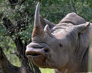 White Rhinoceros: White Rhino, (Grass Eating) hunted and killed in the most gruesome way for their horns and will soon be endangered