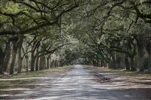 Plantation avenue of trees: Southern Plantation, a typical drive to plantation house is flanked by live oaks. This one has 450+ oaks lining the drive