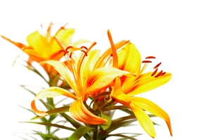 Orange lily: Isolated orange lily with white background.