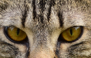 Tabby Cat Eyes