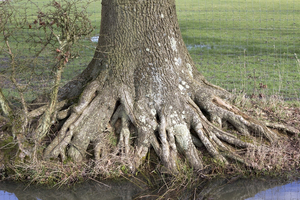 Tree roots: Base and roots of an oak (Quercus) tree in West Sussex, England.
