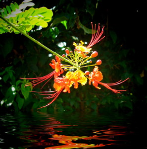 Orange Flower Over Water: A spectacular flower from the bird of paradise shrub reflected in water. You may prefer:  http://www.rgbstock.com/photo/mf1c7rC/Purple+Flower+Over+Water  or:  http://www.rgbstock.com/photo/nN28s3g/Flower+Over+Water