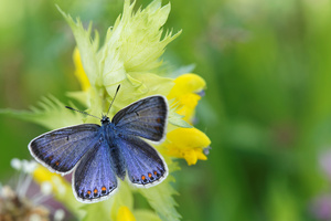 Blue Butterfly: A close-up picture of a bleu butterfly