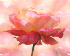 Rose Dream 2: A beautiful pink and yellow rose with a dreamy effect. You may prefer:  http://www.rgbstock.com/photo/2dyVpyq/Rose+Dream  or:  http://www.rgbstock.com/photo/2dyVo13/Pink+Rose