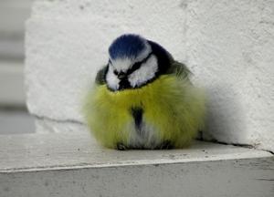 Sweet little tomtit bird