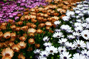 three colours flower carpet