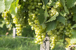 White grapevine: A white grapevine in a vineyard in Surrey, England.