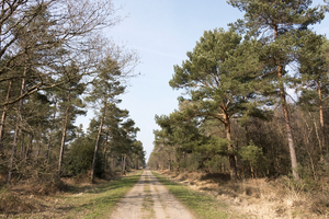 Railway line / bridleway: A disused railway line, now a bridleway, through coniferous forest in West Sussex, England, in spring.