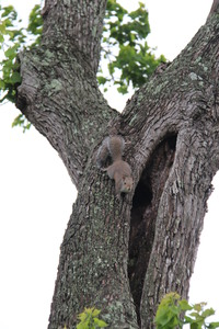 Squirrels Up a Texas Tree
