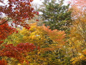 Fall Colors: Gold and scarlet maples leaves in Japan