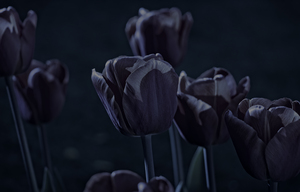 Tulips by moonlight
