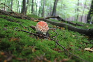 Red Fly Agaric blossom: Mushrooms setting some color in the autum woods. II If you like this picture, feel free to comment it. It will make me very happy.