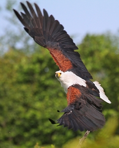 African Fish Eagle Wings