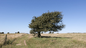 Windswept tree: A windswept hawthorn (Crataegus) tree on a hilltop in the South Downs National Park, Sussex, England.