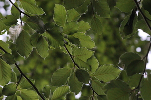 Green Beech Leaves