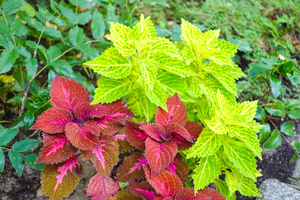 coleus painted nettle