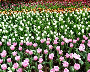 flower dome tulip display25