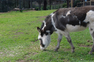 mammal: donkey grazing in a yard at zoo