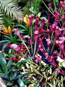 carnivorous plants6: Singaporean pitcher plant colours and varieties