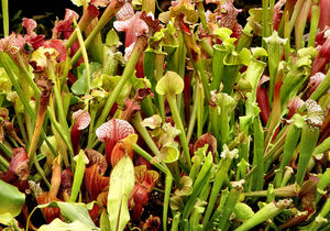 carnivorous plants17: Singaporean pitcher plant colours and varieties