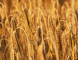 Golden Wheat 2