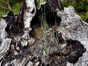 burnt-out tree stump2