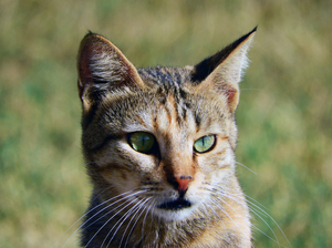Wild Cat with Green eyes