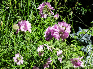 rosy mallow plant