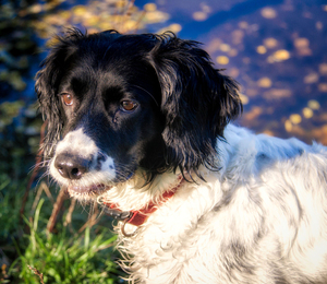 Springer Spaniel At Large