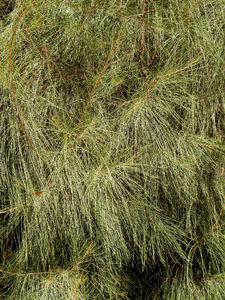 casuarina foliage1: needle-like foliage of Australian casuarina/she-oak tree