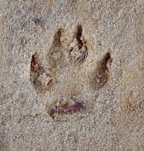 imprint evidence1: distinct deep animal track in sand patch
