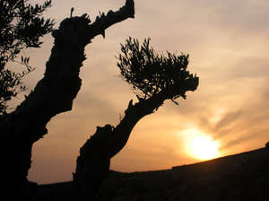 Olive branch sunset 1: Olive placed in Bens Monunt. City of A Coruña. Galicia. Sapain. EU