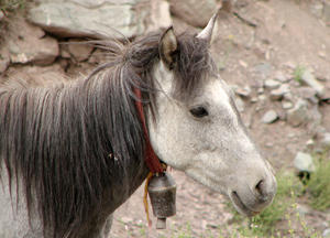 Horse: portrait of a Horse in the Himalayas