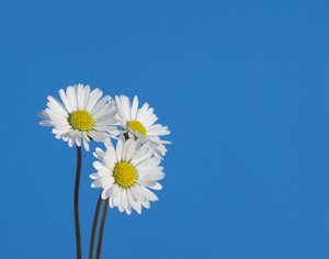 little daisies 2