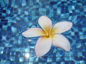 Frangipani in Water 3: Frangipani flowers on a swimming pool surface.
