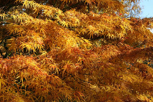 Tawny maple: Tawny autumn colours of an ornamental maple (Acer) in a park in East Sussex, England.