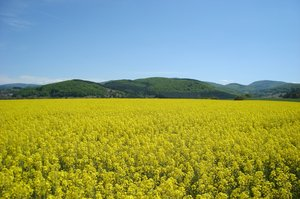 Rape field: Rape field in summer