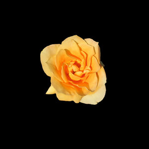 Yellow Rose: According to about.com: