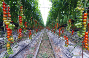 Tomatoes: Greenhouse of tomatoes