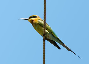 Bee Eater: A Blue Tailed Bee Eater
